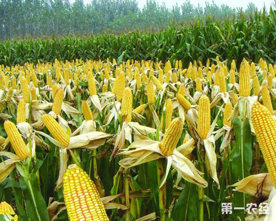 社团活动种玉米步骤图