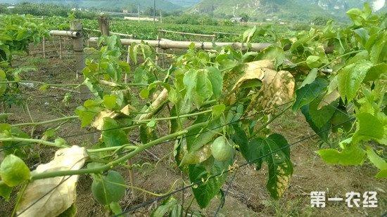 多菌灵在各种植业中的使用方法和注意事项