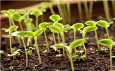 蔬菜补锌肥的重要性 如何给蔬菜补锌肥?