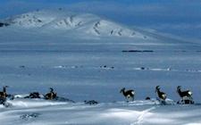 青海遭遇重大雪灾 畜牧业特别是羊业深受其害