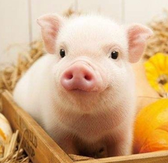养猪场要如何减少弱仔猪?