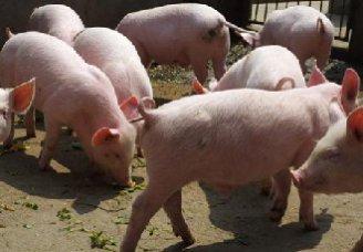 养猪场夏天要如何管理?夏天猪场的管理技术