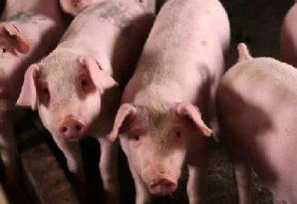 猪热应激要怎么预防?猪热应激的预防方法