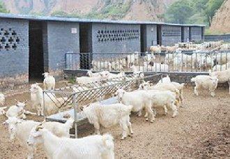 春季羊育肥的饲养管理要点
