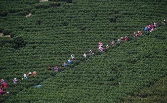 <b>浙江长兴:10万采茶工涌入小镇 6.5万亩白茶全面开采</b>