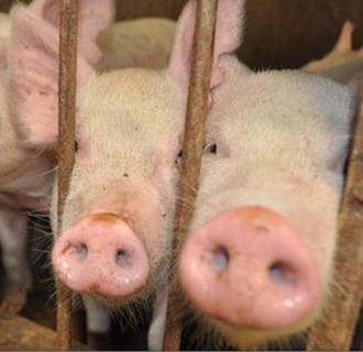夏季养猪场要怎么驱蚊?猪场的驱蚊方法