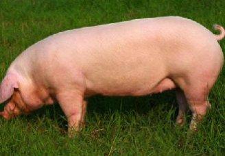 <b>母猪不发情怎么办?母猪不发情的原因及治疗措施</b>