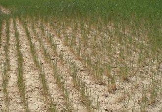 """<b>旱地小麦品种""""铜麦6号""""顺利通过国家审定</b>"""