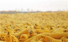 全国玉米总体供大于求 玉米价格疲软