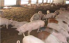 养猪防疫的20个注意事项
