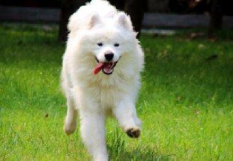 萨摩耶犬瘟热的症状以及治疗措施