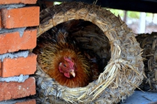 <b>为什么不养公鸡,母鸡还能天天下蛋呢?</b>