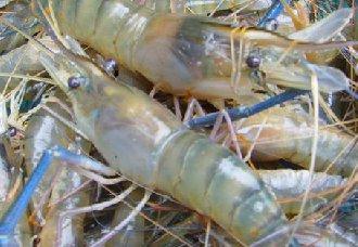 虾生长缓慢、不长个是什么原因?
