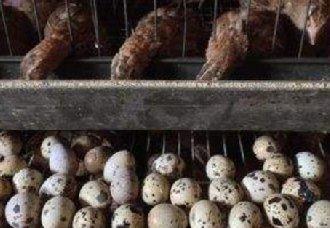 影响鹌鹑产蛋高峰期的五个关键因素