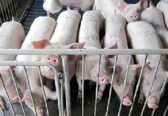<b>猪咬尾的原因以及防治措施</b>