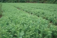 江西安福:大力推广荒山造林活动 做好林木种苗培育工作