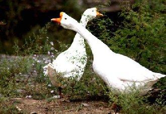 春季预防家禽传染病的管理措施