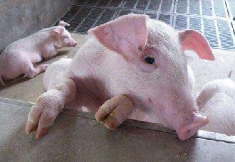 <b>猪水疱病都有哪些症状?又该如预防呢?</b>