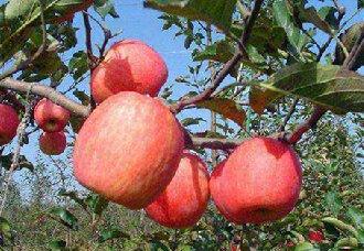 中国气象局添加对苹果的花期预报冻害风险预测