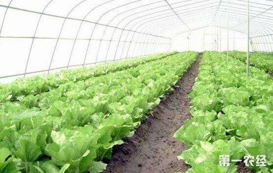 钾肥对大白菜的重要性及施用方法
