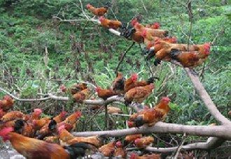 <b>土鸡要怎么养?土鸡的四季养殖管理技术</b>