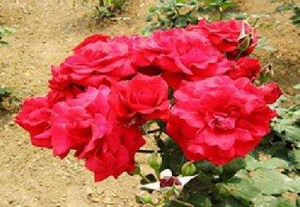 玫瑰种植后要怎么施肥?玫瑰的施肥技术