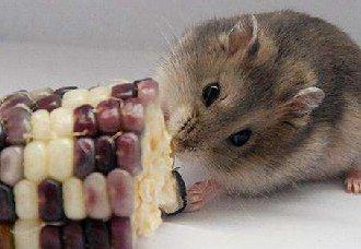 第一次养仓鼠需要准备什么?养仓鼠的准备工作