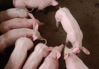 怎么预防仔猪生病?仔猪出生前后的防病措施