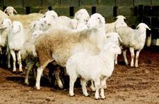 《洼地绵羊》国家标准将于2019年10月1日起正式实施