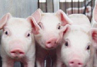 <b>猪得了猪疥螨病要怎么办?该如何治疗?</b>