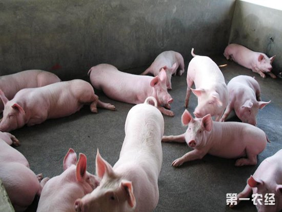 用面做小动物猪