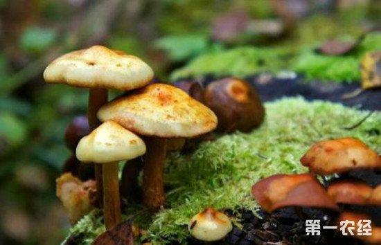 青岛一老人食用野生蘑菇中毒 抢救无效死亡