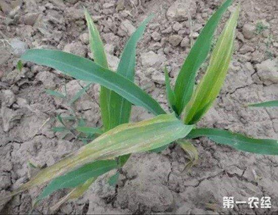玉米苗叶片发黄的原因有哪些?这些情况要注意避免