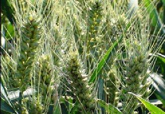 江苏如东县开展小麦赤霉病防控措施工作 确保小麦正常生长
