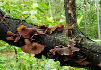 云南丽江华坪县人工仿野生种植黑木耳已大量出菇 并逐步上市