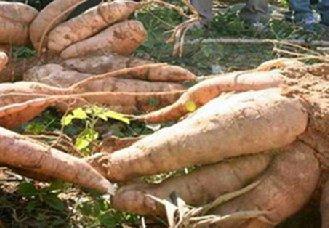 木薯种植常见的病害有哪些?以下四个病害要了解
