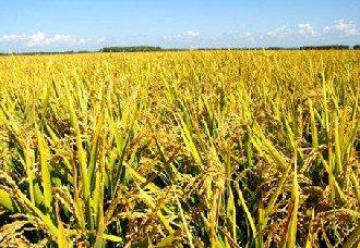 袁隆平:第三代杂交水稻是今后发展的方向