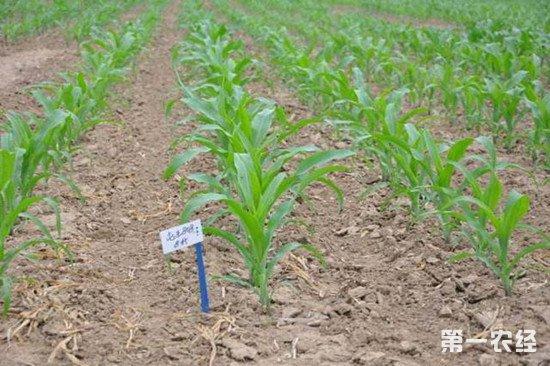 玉米种肥应该怎么施?玉米种肥的施用注意事项