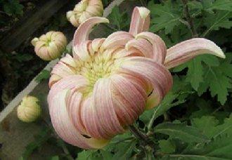 菊花该怎么种?菊花的种植方法