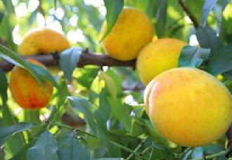 黄桃种植要怎么施肥?不同阶段的黄桃树需肥不同