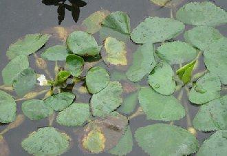 池塘种菱养鱼要注意什么?种菱养鱼的注意事项