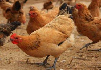 <b>养鸡舍的灰尘该如何清除?减少鸡舍灰尘的方法</b>