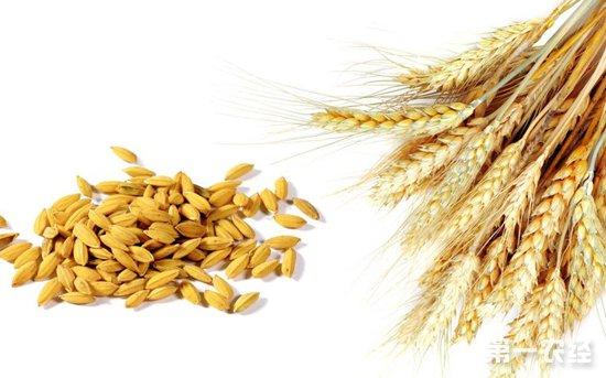 新麦上市政策利用 麦价抬头仍显困难