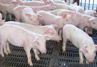 <b>猪胃食滞的发病原因以及防治措施</b>