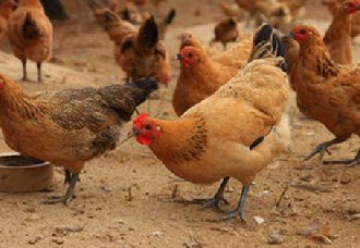 肉鸡价格出现大幅度上涨趋势 养鸡户应控制好补栏和出栏时间