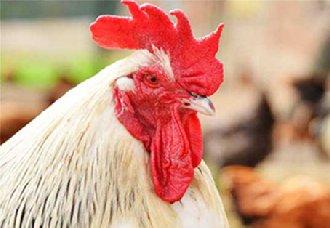 <b>夏季养鸡要防治哪些鸡病的产生?注意以下三种</b>