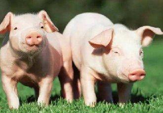 小猪急性倒地死亡的原因及防治措施