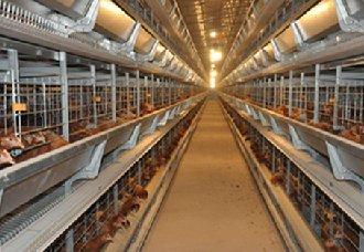 养鸡舍温度要怎么设定?可从鸡群三个表面进行判断