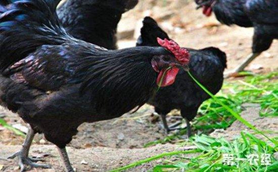 南城五黑鸡