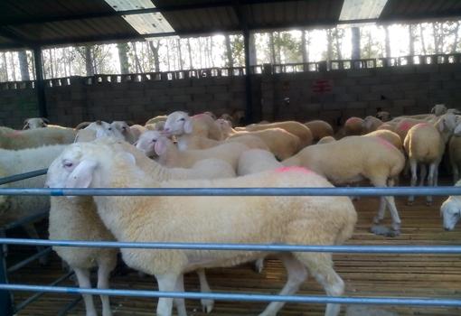 小尾寒羊一斤多少钱?